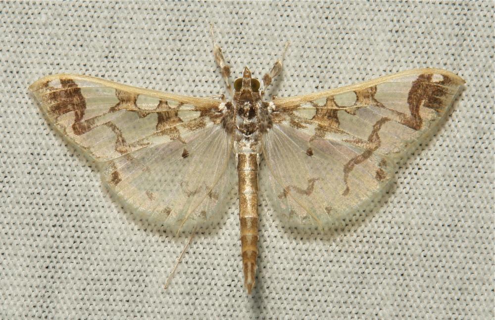 Crambidae Moth Polythlipta divaricata Spilomelinae