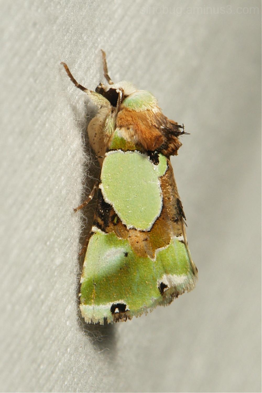 Moth Nacna malachitis Noctuidae China