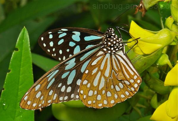 Blue Tiger Tirumala limniace Nymphalidae butterfly
