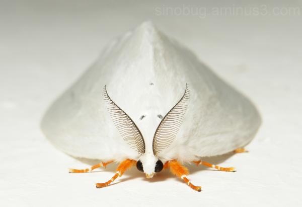 Tussock Moth Lymantriinae Perina  China
