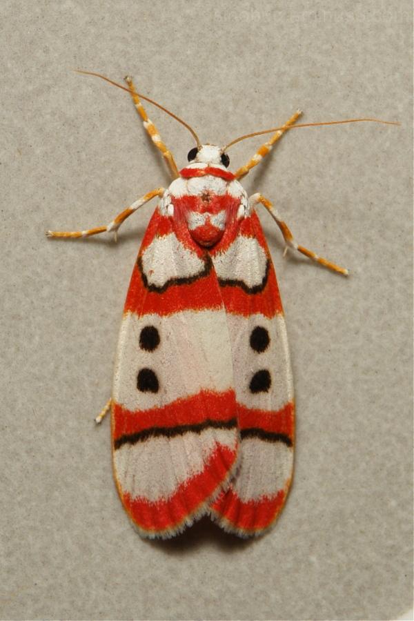 Erebidae Moth Cyana bianca Lithosiini Arctiinae