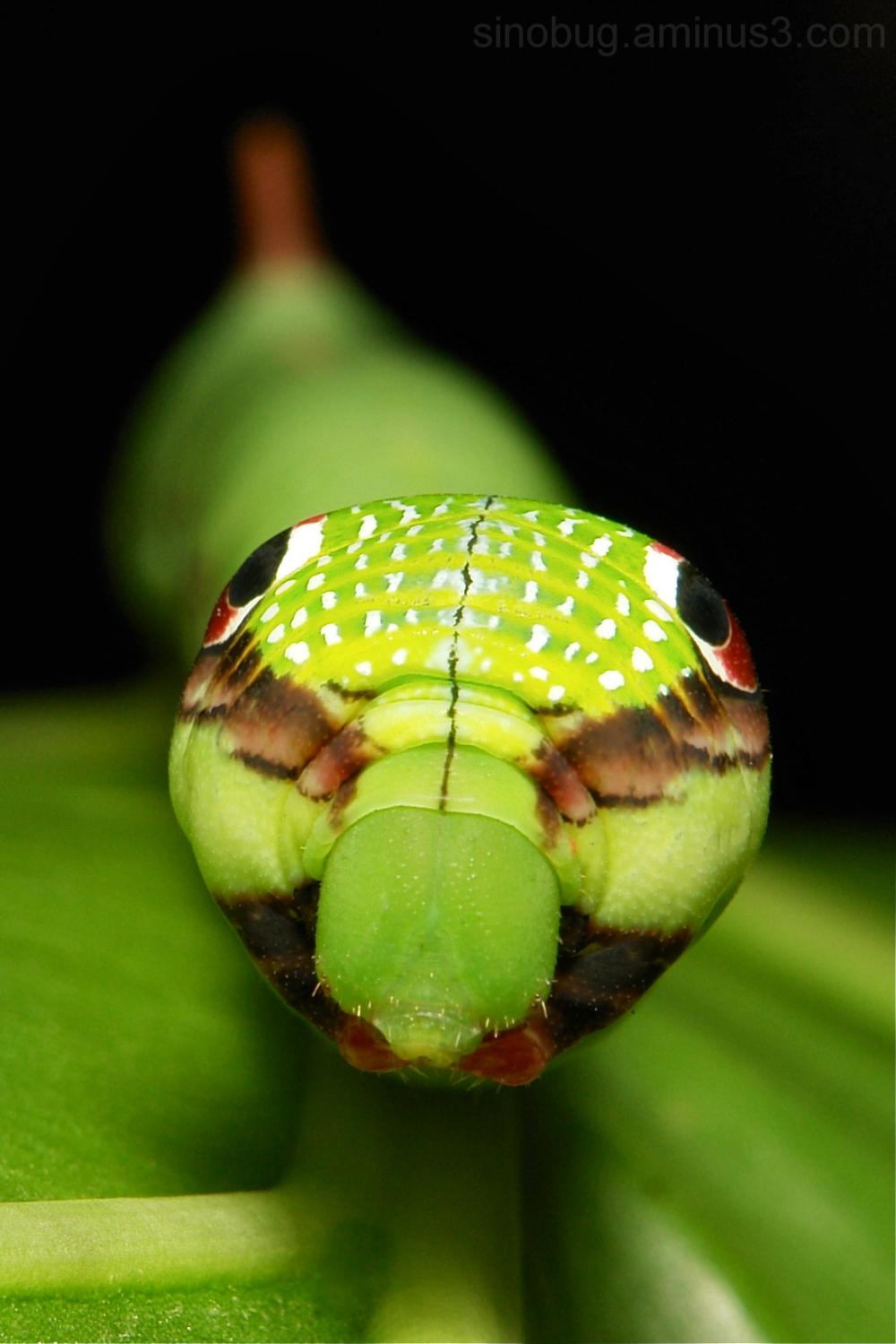 Hawk Moth Caterpillar Eupanacra mydon Sphingidae