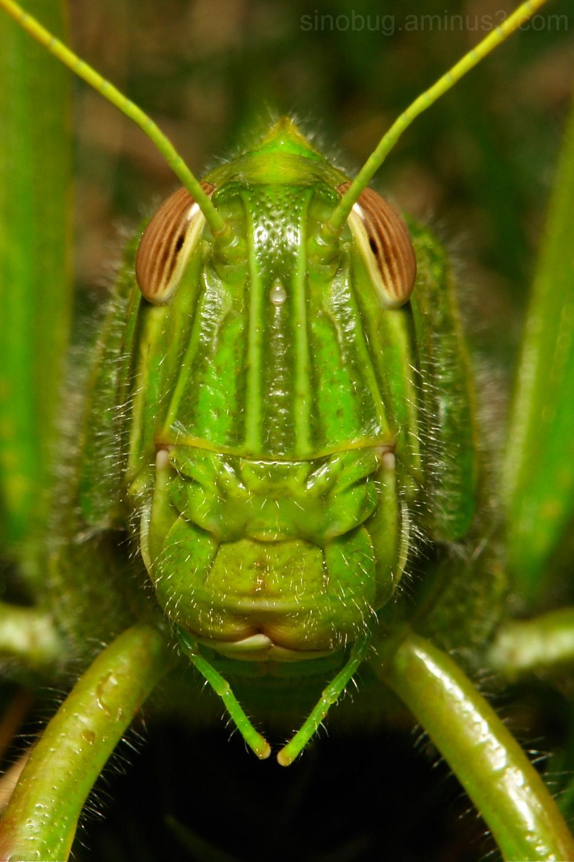 Citrus Locust Chondracris rosea Acrididae China