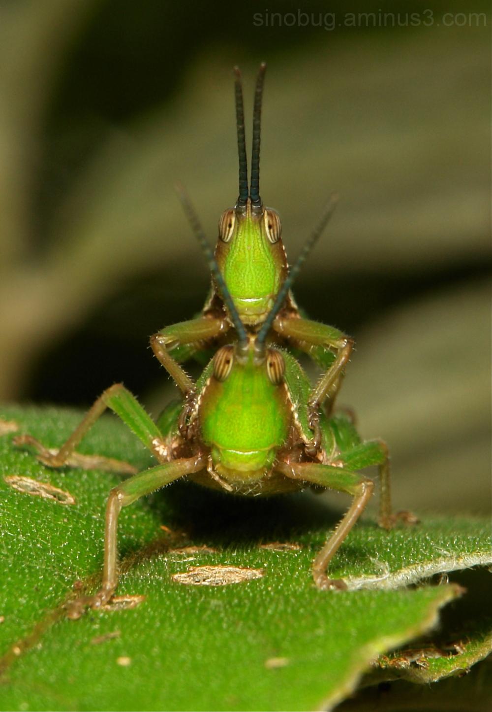 Grasshopper Atractomorpha Pyrgomorphidae China