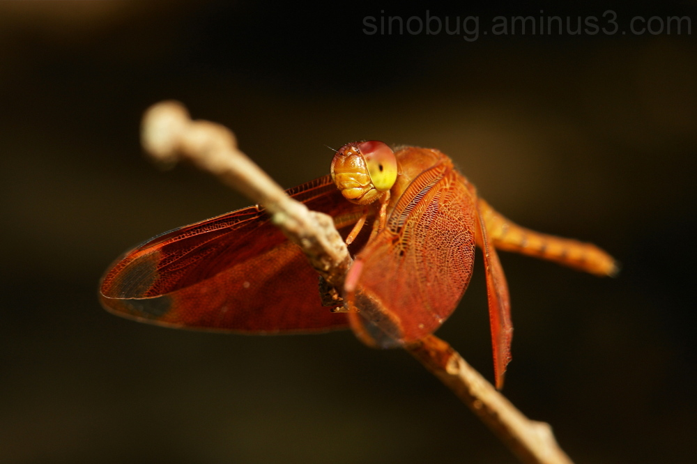 Fulvous Forest Skimmer Neurothemis fulvia China