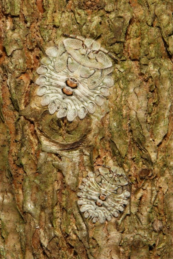 Shield-backed Bug Nymph Hemiptera China