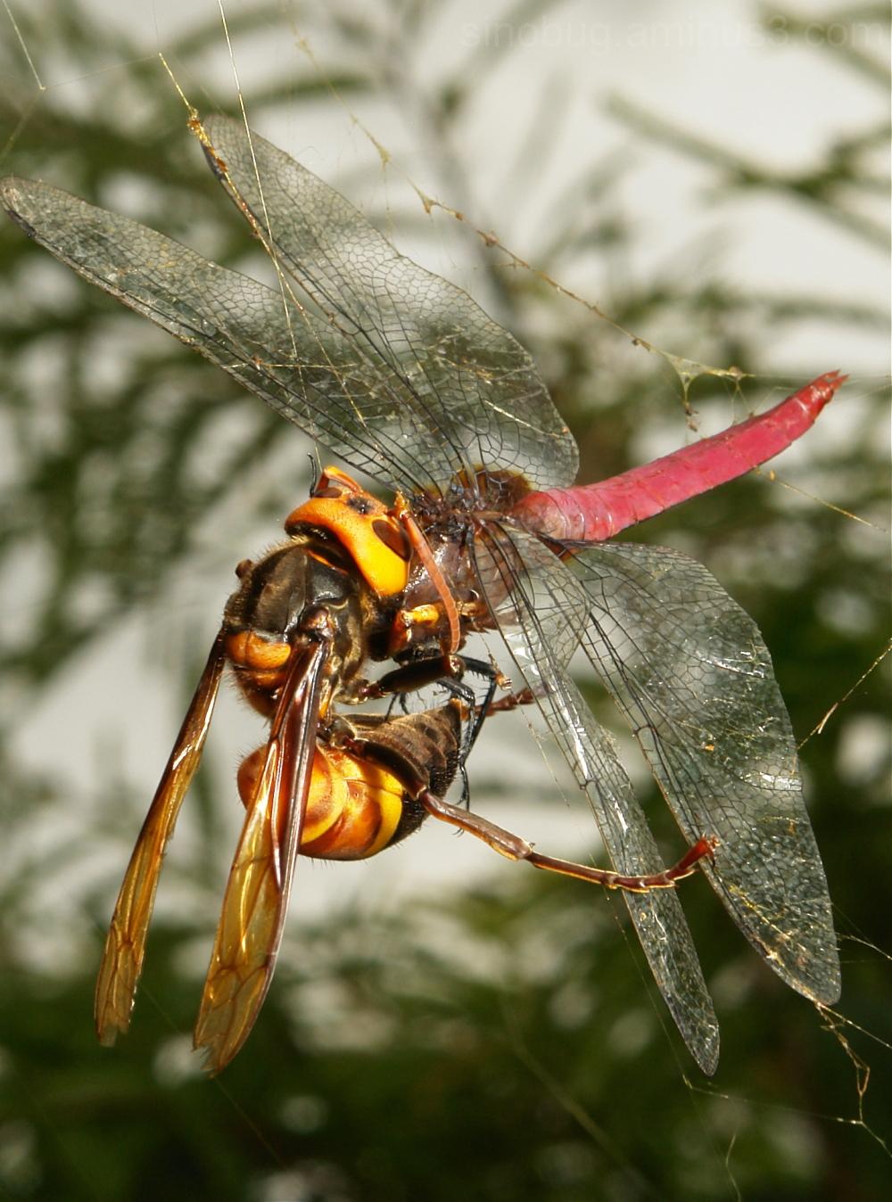 Vespa mandarinia Orthetrum pruinosum Nephila