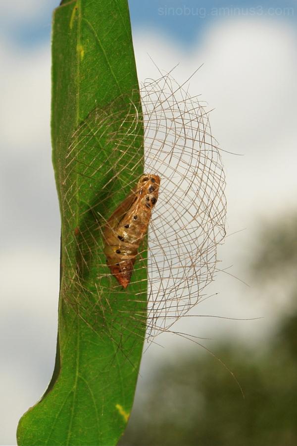Moth Pupa Basket Cyana Arctiinae China