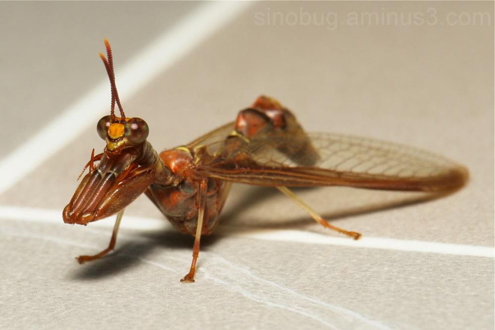 Mantis Fly Entanoneura sinica Mantispidae China