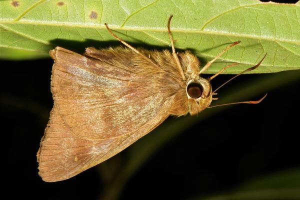 Awl Hasora Coeliadinae Hesperiidae Yunnan