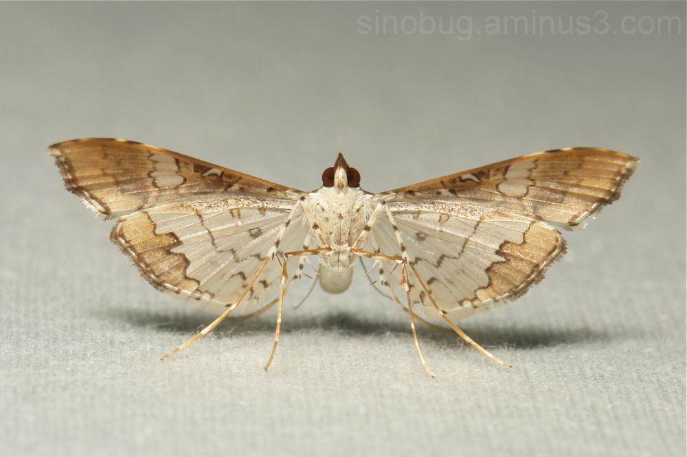 Bean Pod Borer Moth Maruca vitrata Crambidae