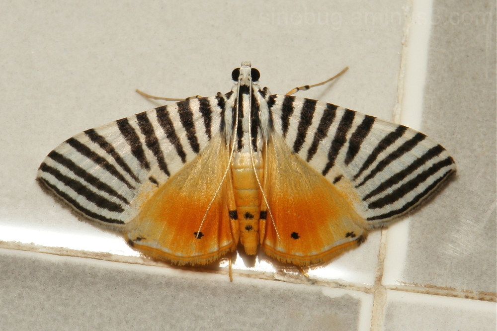 Crambidae Moth Dichocrocis zebralis Spilomelinae