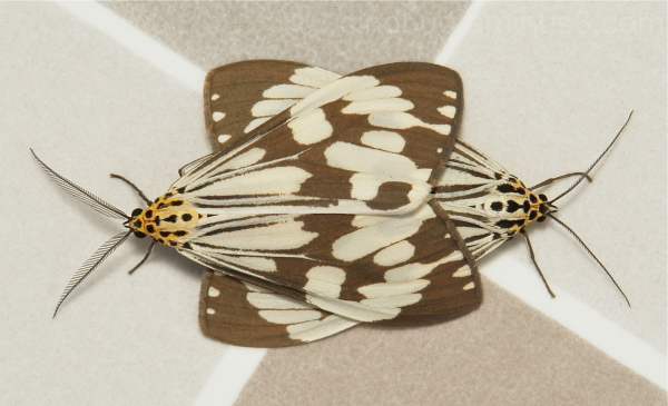 Marbled White Moths Nyctemera adversata Arctiinae