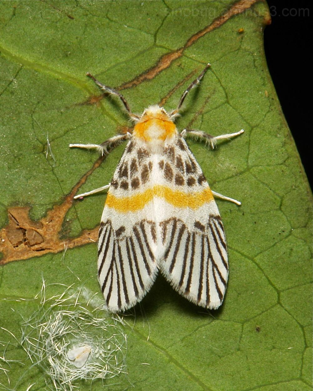 Moth Barsine eccentropis Lithosiini Arctiinae