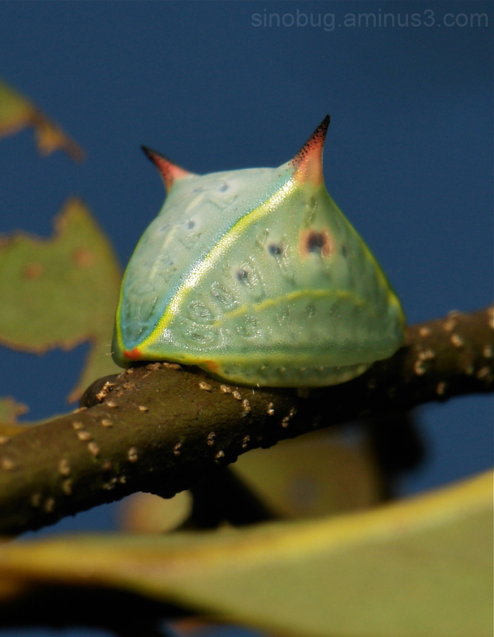 Slug Caterpillar Cup Moth Prolimacodes Limacodidae