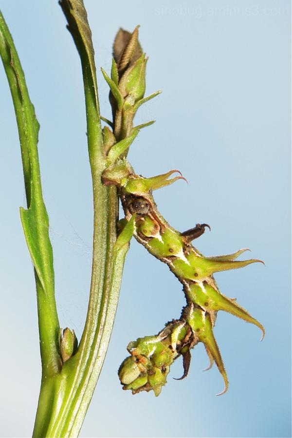 Moth Caterpillar Tanaorhinus viridilutetatus China