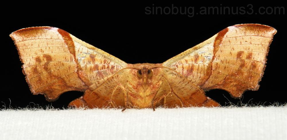 Geometridae Moth Fascellina chromataria Ennominae