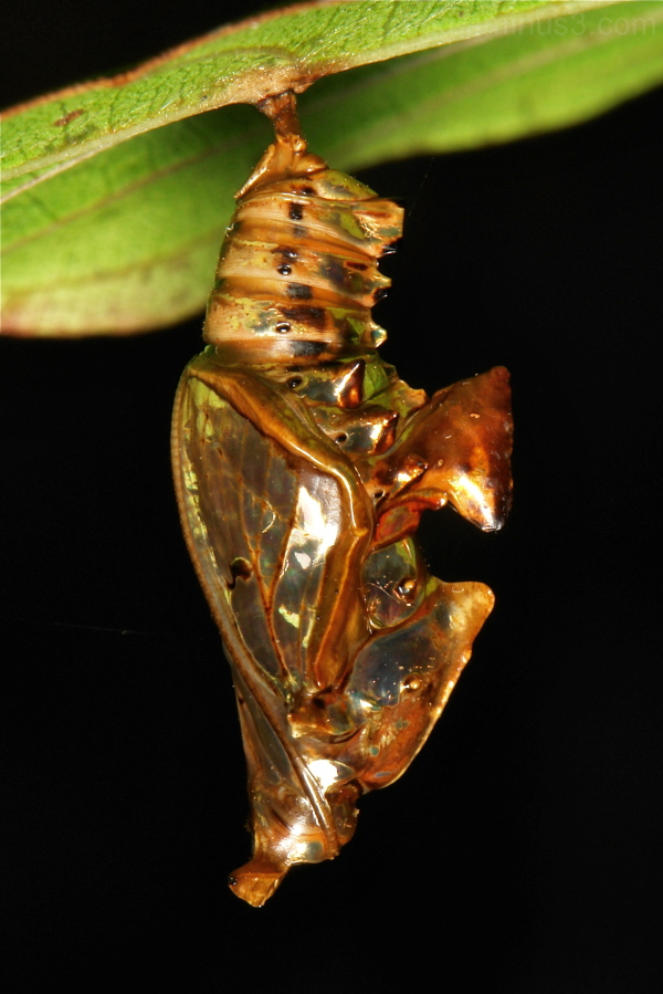Sergeant Butterfly Chrysalis Athyma Nymphalidae