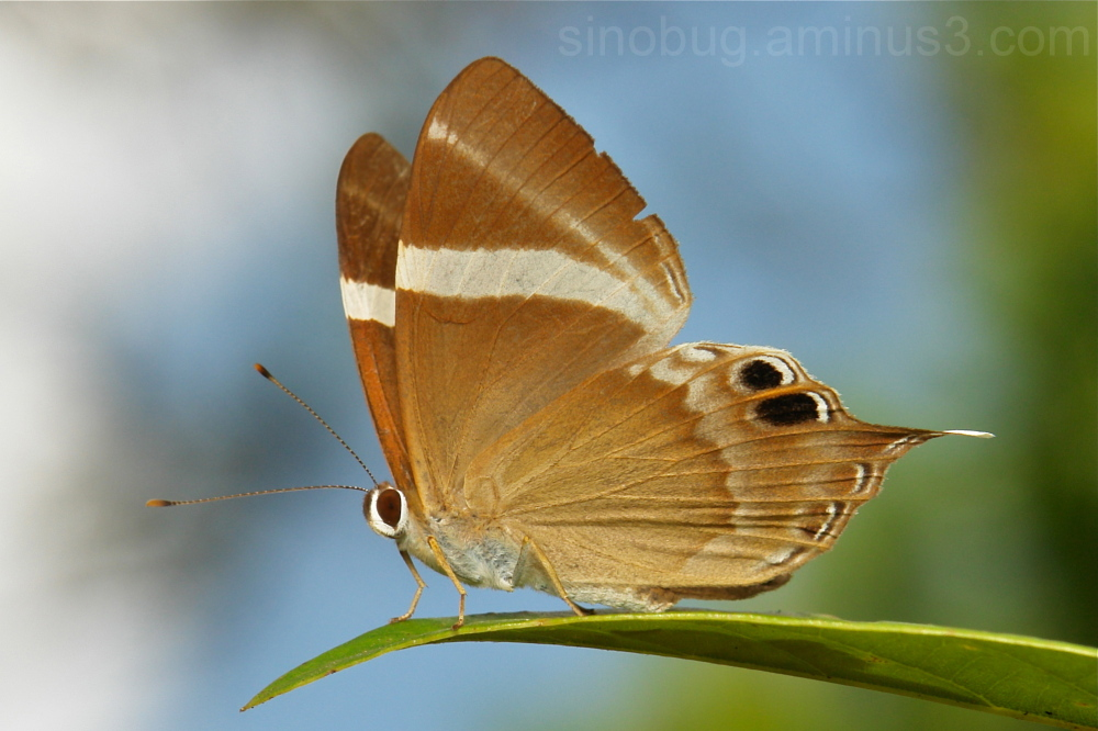 Tailed Judy Abisara neophron Riodinidae Yunnan