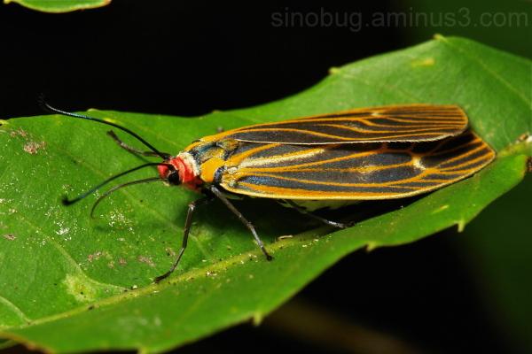 Moth Soritia Chalcosiinae Zygaenidae Yunnan China