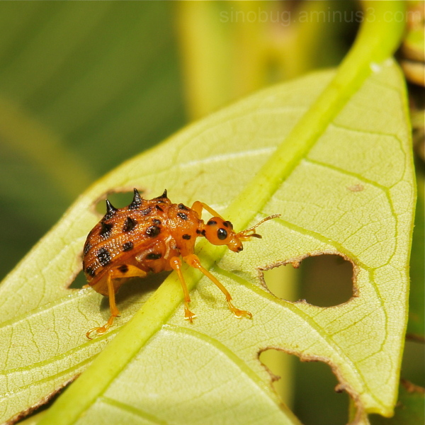 Leaf-Rolling Weevil Paroplapoderus Attelabidae