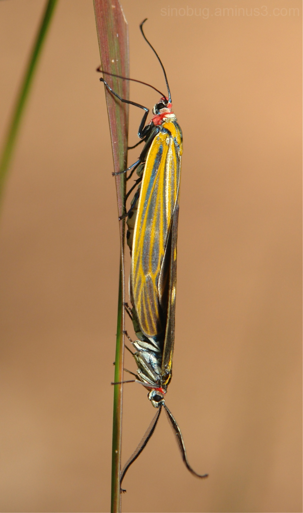 Chalcosiine Moth Soritia Zygaenidae China Yunnan