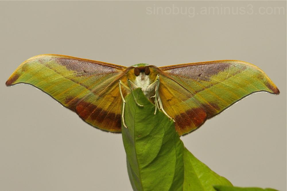 Moth Tanaorhinus viridiluteatus Ennominae China
