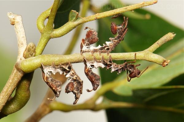 Lobster Moth Caterpillar Stauropus Notodontidae