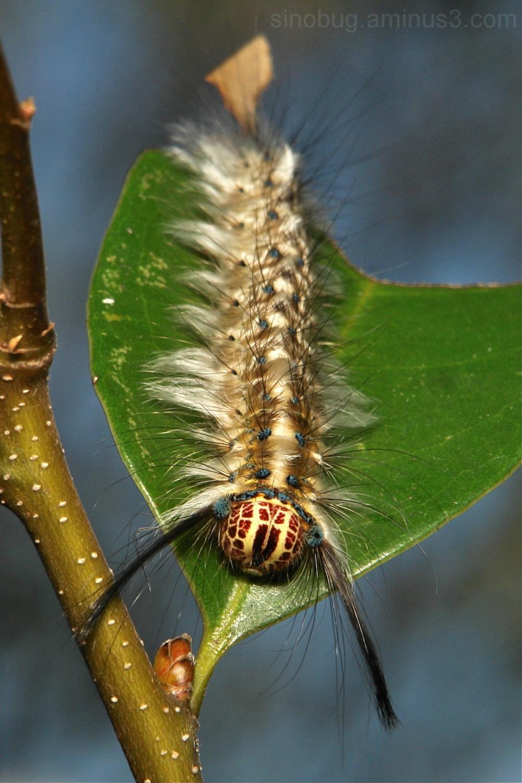 Lappet Moth Caterpillar Trabala Lasiocampidae