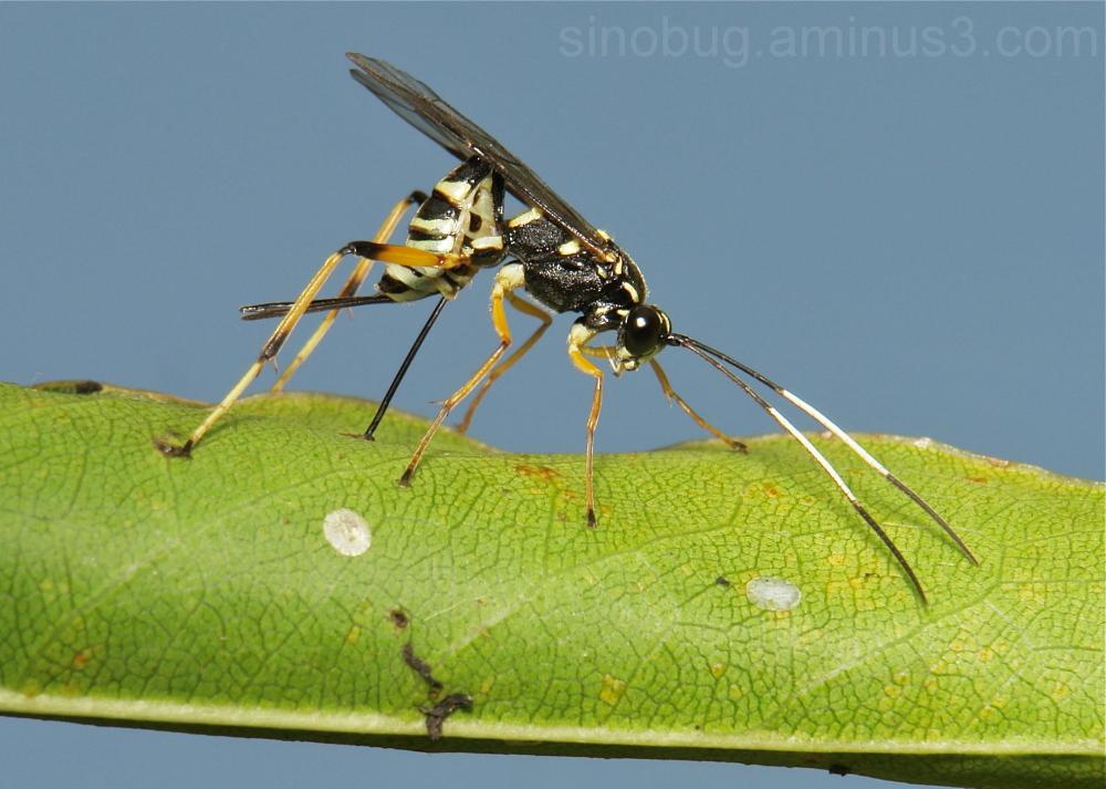 wasp Ichneumonidae parasitoid Yunnan China