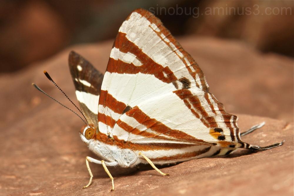 White Punch Dodona henrici Riodinidae Yunnan