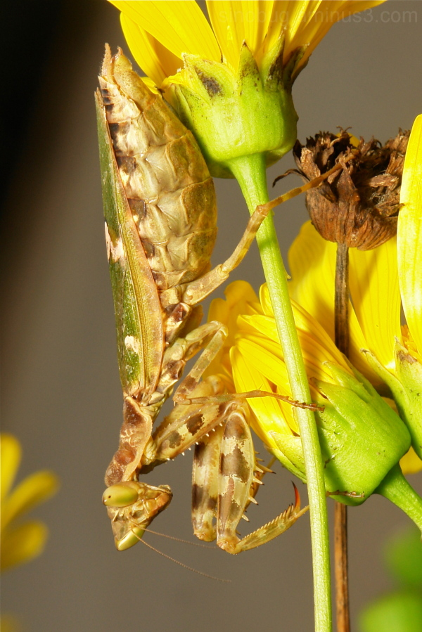 Jeweled Flower Mantis Creobroter gemmatus China