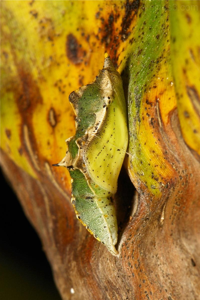 Asian Cabbage Chrysalis Pieris canidia Pieridae