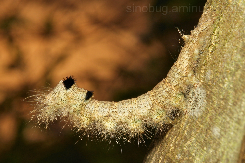 Lasiocampidae Moth Caterpillar China Yunnan