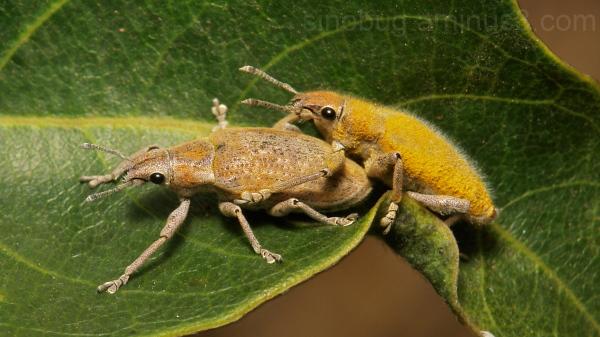 Gold Weevils Hypomeces squamosus Curculionidae