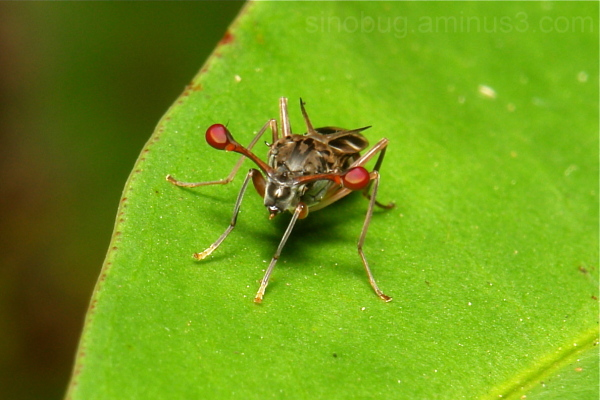 Stalk-Eyed Fly Diopsidae Diptera China