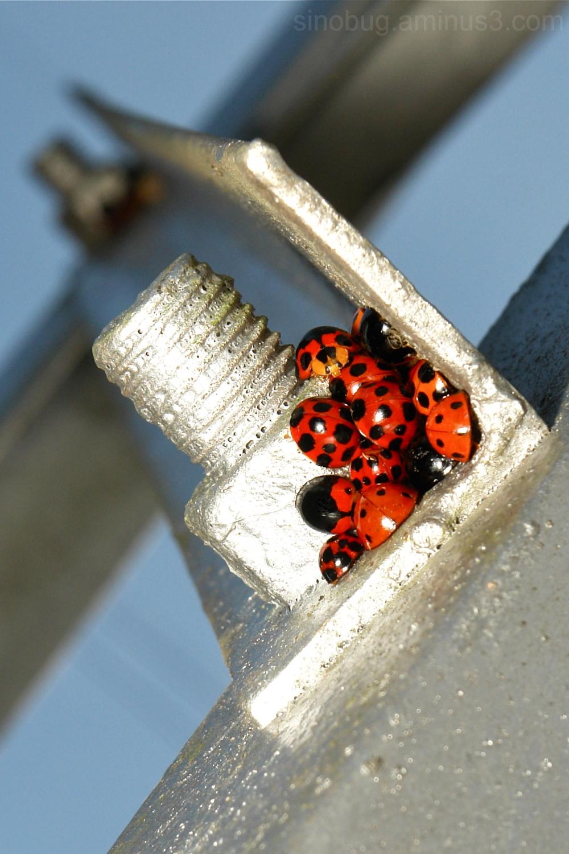 Synanthropy lady beetle ladybug Coccinellidae
