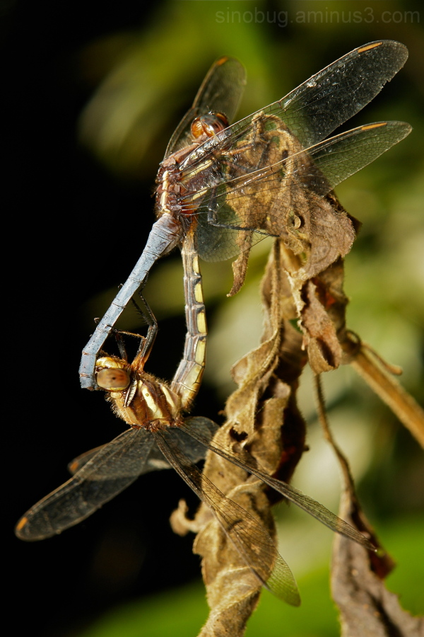 Asian Skimmer Orthetrum glaucum dragonfly China
