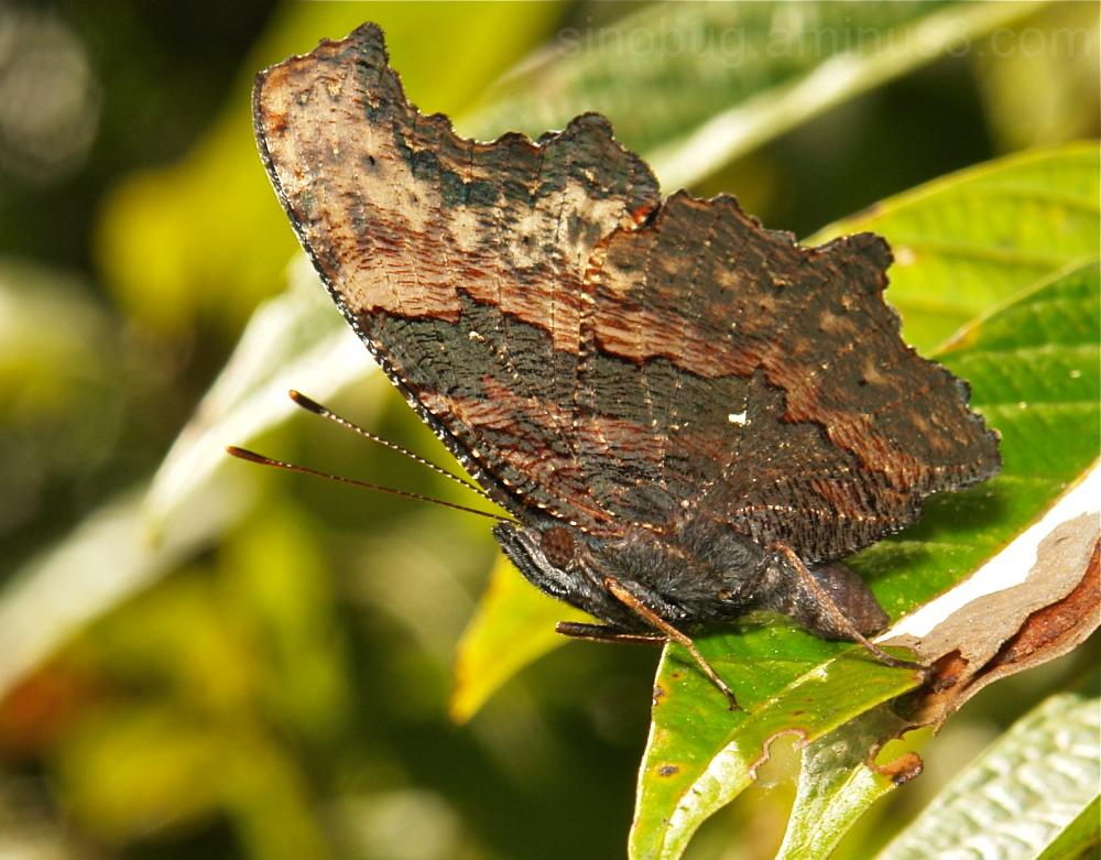 Blue Admiral Kaniska canace Nymphalidae Yunnan