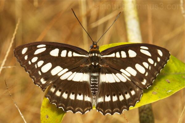 Common Sergeant Athyma perius Nymphalidae China