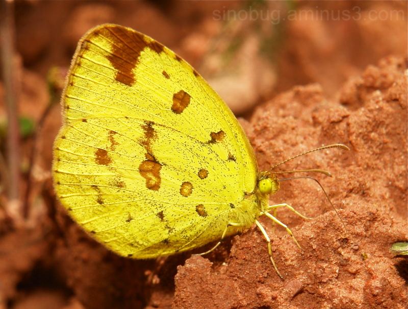 Three-Spot Grass Yellow Eurema blanda Pieridae