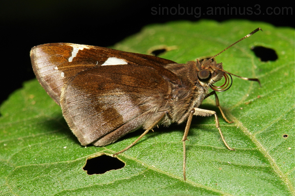 Restricted Demon Notocrypta curvifascia skipper