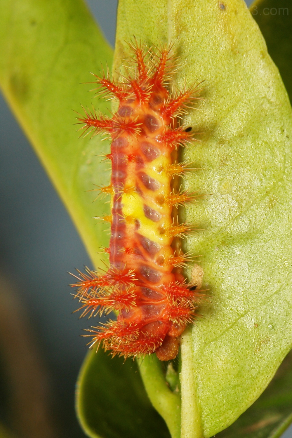 Stinging Slug Caterpillar Cup Moth Limacodidae