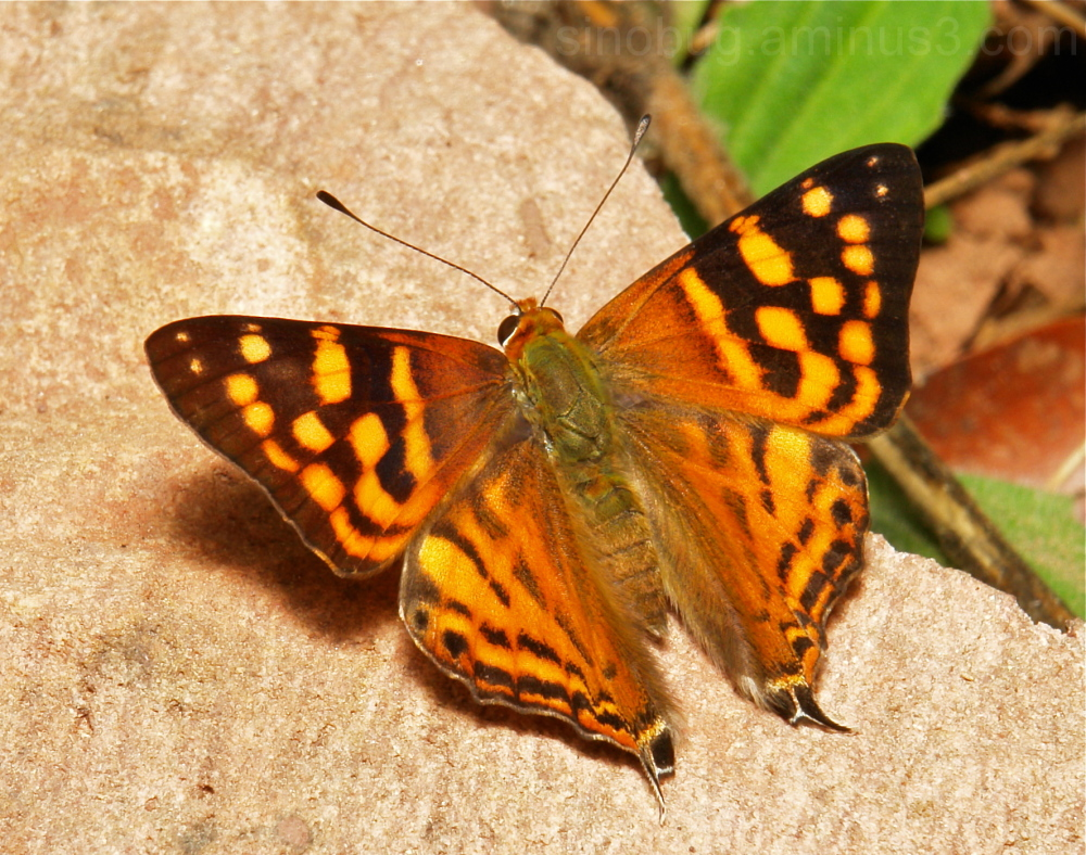 Orange Punch Dodona egeon Riodinidae China