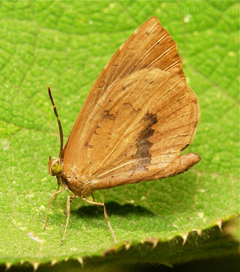 Common Brownie (Miletus chinensis, Lycaenidae)