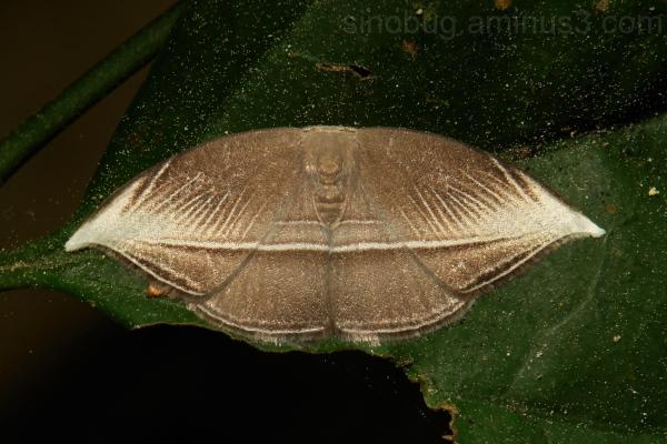 Hooktip Moth Microblepsis leucosticta Drepanidae
