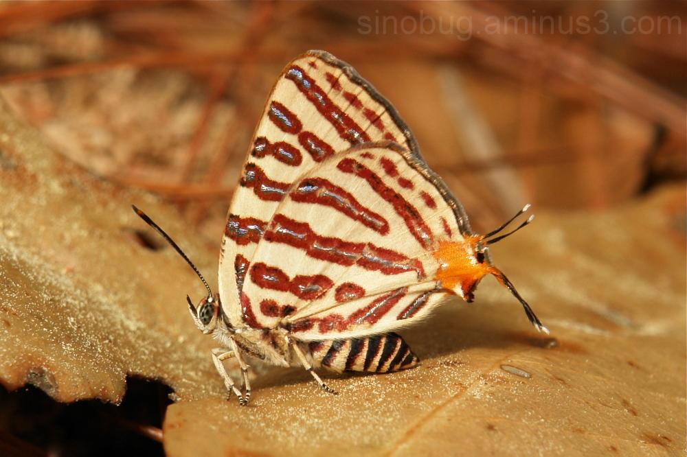 Long-Banded Silverline Spindasis lohita Lycaenidae