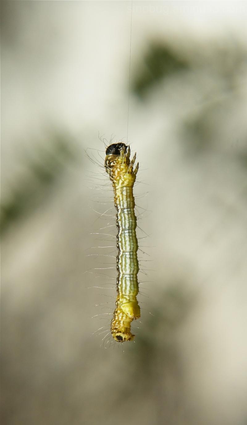 Moth Caterpillar Geometridae silk China Yunnan