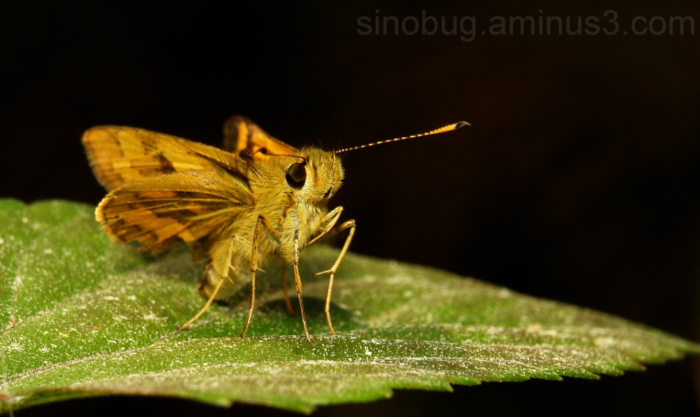 Dart Skipper Potanthus Hesperiidae China
