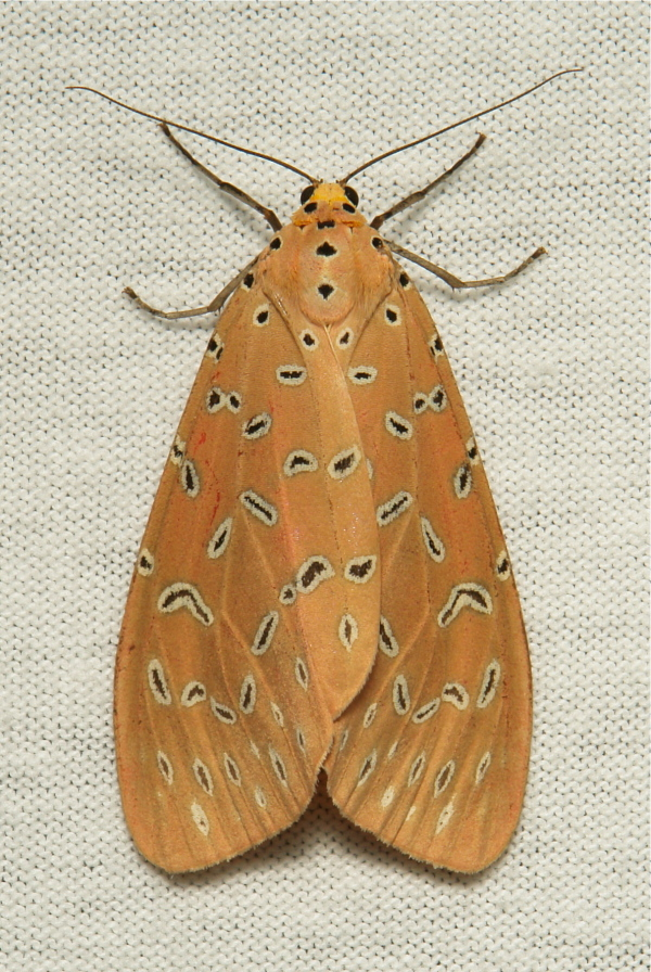 Crotalaria Podborer Mangina Argina Arctiinae moth